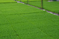 Mature rice seedlings many before planting Stock Images