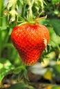 Mature strawberry in Grandma`s garden Royalty Free Stock Photo