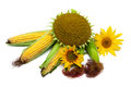 Mature sunflowers and corn on the cob close up on white backgrou Royalty Free Stock Photo