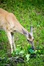 Whitetail Deer Doe Feeding Royalty Free Stock Photo