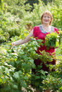 Mature woman gathers currant leaves Stock Photo