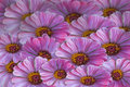 Mauve daisys and yellow background Royalty Free Stock Image