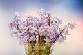 Mauve hyacinthus orientalis flowers common hyacinth garden hyacinth or dutch hyacinth in a transparent vase close up blue gradient Royalty Free Stock Photo