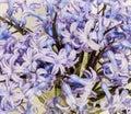 Mauve hyacinthus orientalis flowers common hyacinth garden hyacinth or dutch hyacinth in a transparent vase close up green Stock Image