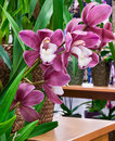Mauve Orchids Royalty Free Stock Image