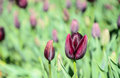 Mauve tulip buds flowers blooming in spring abstract wallpaper Royalty Free Stock Photos