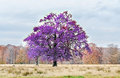 Mauve violet tree in autumn time, outdoor park Royalty Free Stock Photo