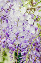 Mauve wisteria sinensis chinese wisteria glicina tree flowers close up Stock Photo