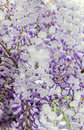 Mauve wisteria sinensis chinese wisteria glicina tree flowers close up Stock Photography