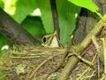 Mavis song thrush sitting on a nest and hatches Stock Image