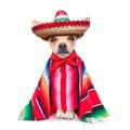 Maxican chihuahua Royalty Free Stock Photo