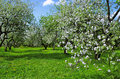 May apple garden in bloom trees covered with blossoms a on a clear day Royalty Free Stock Images