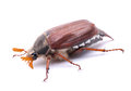 May beetle Royalty Free Stock Image