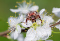 The may beetle on the flowers of cherry bug a pest plants length mm body is black wings are reddish brown covered with white hairs Stock Photos