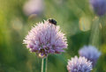 May beetle on onion flower early morning dew bug melolontha blooming leek Royalty Free Stock Images