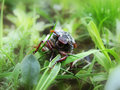 The may-bug in a green grass Royalty Free Stock Photo