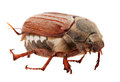 May bug macro isolated on white Stock Photo