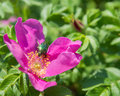 May bug pollinating wet the beetle a flower of wild rose Royalty Free Stock Images