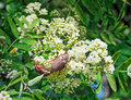 May-bugs eat mountain ash flowers. Royalty Free Stock Photo