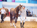 May chestnut breed stallion in the international exhibi exhibition russia indoor Royalty Free Stock Photos