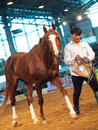 May chestnut russian stallion in the international exhi exhibition russia indoor Royalty Free Stock Images