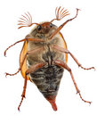 Maybug belly Royalty Free Stock Photo