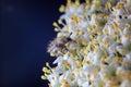 Maybug melolontha hippocastani on viburnum opulus Royalty Free Stock Photos