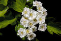 A close-up of a group of white Mayflower blossom Royalty Free Stock Photo