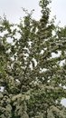 Mayflower tree heavily laden with blossoms looking up at tight clusters of tiny white blossom flowers pale pink centres Stock Images