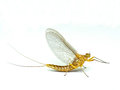 Mayfly isolated on the white background Royalty Free Stock Images