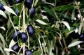 McLaren Vale Olives Royalty Free Stock Photo