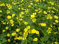 Meadow of blooming buttercup yellow flowers Royalty Free Stock Photo