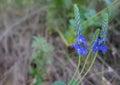 Meadow Blue Flowers. Wildflowe...