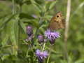 Meadow brown butterfly Stock Photos