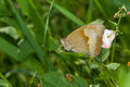 Meadow brown butterfly resting in shadows of summer herbs Royalty Free Stock Photo