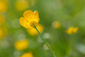 Meadow buttercup macro photography of ranunculus acris Stock Photos