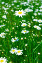 Meadow: Camomile flowers Stock Images
