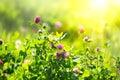 Meadow. Clover Flowers On Spri...