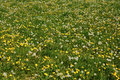 Meadow with Common Dandelion Royalty Free Stock Photo