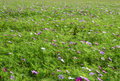Meadow covered in cosmos garden bipinnatus flowers Royalty Free Stock Images
