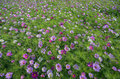 Meadow covered in cosmos garden bipinnatus flowers Stock Photos