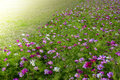 Meadow covered in cosmos garden bipinnatus flowers Royalty Free Stock Photo
