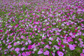 Meadow covered in cosmos garden bipinnatus flowers Stock Image