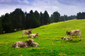 Meadow with cows summer view of pyrenees catalonia Royalty Free Stock Photo