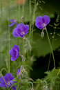 Meadow cranesbill Royalty Free Stock Images
