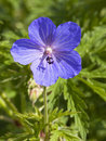 A meadow cranesbill flower Stock Photography