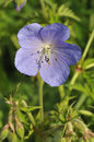 Meadow Cranesbill Flower Royalty Free Stock Image