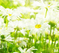 Meadow with daisies and grass with sunlight Stock Image