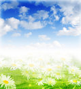 Meadow with daisies on sunny day Royalty Free Stock Photography