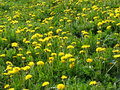Meadow with dandelions green many yellow photo Royalty Free Stock Images